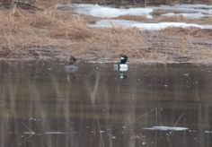 Ducks in Maine #waterfowl #maineduckhunting #kennebecvalley #silvertonsportingranch
