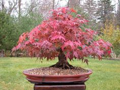 Japanese Maple Bonsai Tree | Bonsai tree