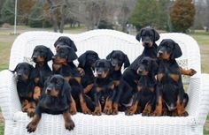 I would love to be in the middle of all of these sweet adorable poos! Doberman Puppies For Sale, Doberman Love, Rottweiler Puppies, Cute Dogs And Puppies, Baby Puppies, I Love Dogs, Doggies, Doberman Pinscher Blue, Pincher Dog