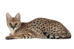 Gato Savannah 1 Gatos Serval, Siamese Cats, Kittens, African Wild Cat, Small Wild Cats, Sphinx Cat, Mean Cat, Pusheen Cat, Pet News