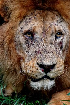 This is what the face of a true King looks like. In the wild, almost no male lions will reach this kind of age.
