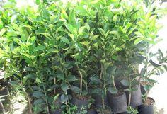 Bán cây giống bưởi diễn chất lượng uy tín nhất tại Hà Nội 100% cây giống được lấy từ cây mẹ có đặc tính,năng suất cao
