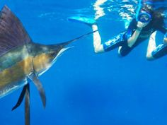 Sailfish Snorkel Adventure, join this amazing adventure and snorkel with the sailfish, the fastest fish in the ocean!