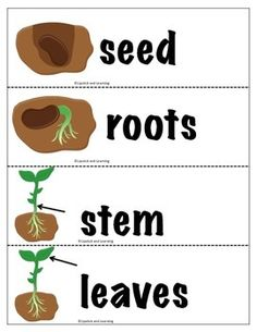 Kindergarten Themes, Preschool Learning Activities, Kindergarten Science, Sequencing Activities, Maria Montessori, Plant Life Cycle Worksheet, Flowers Name List, Planting For Kids, Parts Of A Plant