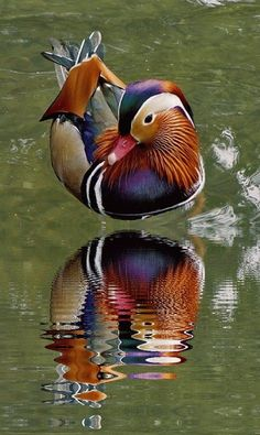 Nice image of a male Mandarin duck. Love the rippling water. Canard Mandarin, Mandarin Duck, Most Beautiful Birds, Pretty Birds, Beautiful Pictures, Exotic Birds, Colorful Birds, Bird Pictures, Animal Pictures