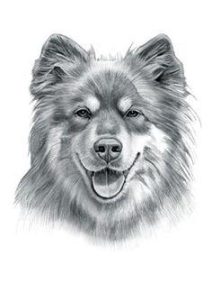 Finnish Lapphund Dog