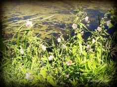 Wild Swamp Flowers
