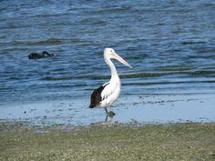 Bird Photos, Birding Sites, Bird Information: AUSTRALIAN PELICANS, WESTERN TREATMENT PLANT, WERR...