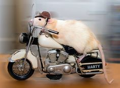 les aventures de marty mouse souris qui est en fait un rat 13
