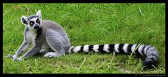 Ring Tailed Lemur-Lowry Park Zoo by snook_less on Flickr.