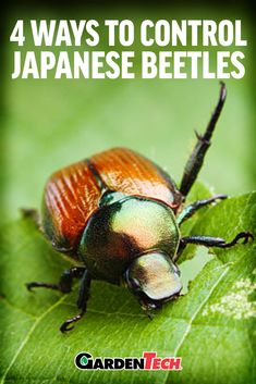 Japanese beetles are a particularly destructive pest. Learn how to identify, treat and prevent their damage. Bug Control, Pest Control, Japanese Beetles, Pest Solutions, Bees And Wasps, Garden Pests, Garden Insects, Plant Pests, Plants