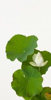 Hasu ( Lotus ) - Takashi Tomo-oka