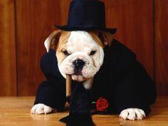 Hey...I Look Classy! - cigar, bulldog, cute, tuxedo