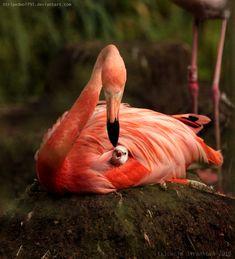Amazing wildlife - Pink Flamingo and baby photo #flamingos