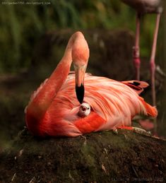 Amazing wildlife - Pink Flamingo and baby photo #flamingos