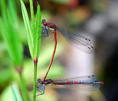 Bilder und Grusskarten, Pictures and Greeting cards. Rote Libellen Libellen