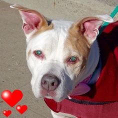 SAFE 1-16-2016 by  Posh Pets Rescue --- SUPER URGENT Manhattan Center BABY – A0553027 **RETURNED ONCE AGAIN** SPAYED FEMALE, WHITE / TAN, AM PIT BULL TER MIX, 12 yrs OWNER SUR – ONHOLDHERE, HOLD FOR ID Reason LLORDPRIVA Intake condition GERIATRIC Intake Date 01/05/2016 http://nycdogs.urgentpodr.org/baby-a0553027/