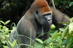 Improve Safety of Zoo Enclosures After Gorilla's Death