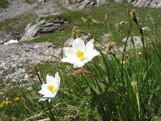 Alpen-Küchenschelle (Pulsatilla alpina, Syn.: Anemone alpina L.) in voller Blüte. #Kleinwalsertal #geschützt.