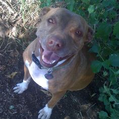 my Blossom has the cutest pittie smile #pitbull #smile #rescue #dog