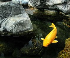 colored carp #japan