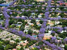 Jacaranda lined streets in Melville, Johannesburg. The Jacaranda tree is invasive to south Africa and damages the incredible indigenous diversity. Pretoria, Melville Johannesburg, Out Of Africa, Beautiful Sites, Beautiful Places, New Energy, African Animals, Future City, Africa Travel