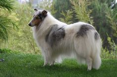 Rainshade Collies | Internationally Renowned Rough Collie Breeder | Our Puppies
