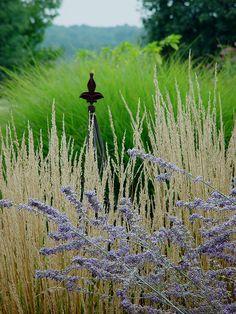a gentle view....Perovskia atriplicifolia, Russian sage ,Calamagrostis x acutiflora 'Karl Foerster' - Feather Reed Grass and Miscanthus sinensis 'Adagio'