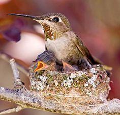 colibri ou beija flor