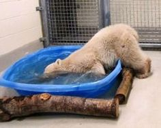 Demand the release Arturo the Polar bear who is in prison in Argentina... - The Petition Site