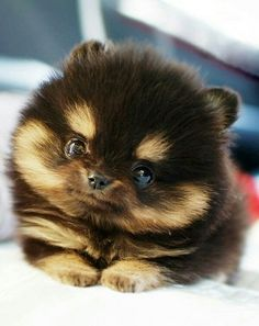 Pomeranian puppy looking at you when you wake up....hey, I peed on the bed