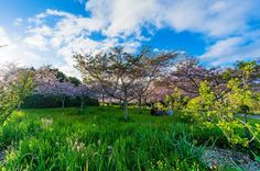 Long grass under the cherry blossoms. Spring.  - Auckland Botanical Gardens Auckland New Zealand  - Sony NEX-5R 10-18mm f/5.6 1/500s ISO 100  - Lightroom