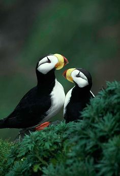 Image detail for -Horned puffins, Alaska | BIRDS - Open Edition Prints | WILDLIFE
