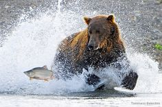 Grizzly Chasing Salmon