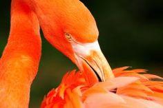 orange swan