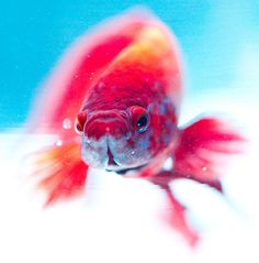 beta fish (japanese fighting fish) love these guys. i have two of them. one standard in a black, red, and orange. the other is a crown-tail in blue, purple, and teal.