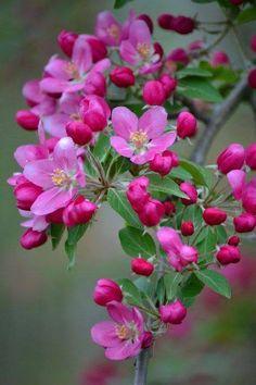 crabapple in bloom Exotic Flowers, Amazing Flowers, My Flower, Beautiful Flowers, Bloom, Spring Blossom, Flowering Trees, Flower Pictures, Flower Wallpaper