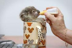 Koala in a mug