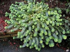 SALE $1.00 (Smaller size but still good) EUPHORBIA myrsinites (Donkey Tails) Great along a pond or rock garden. Extremely Heat and Drought Tolerant $4.50 for a generous size. (for more info go to the website)