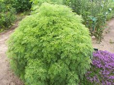 Plants and Garden, section about garden like the plant Artemisia abrotanum - Southernwood