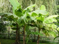 Bananier du Japon, 20/30 cm pot 1L500 - Musa Basjoo : acheter en ligne sur Jardins Du Monde. Pépinière, jardinerie en ligne. Livraison partout en Europe