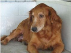This is Ginger - 13 yrs old. She is an owner surrender after her Mom passed away from cancer and Dad decided to rehome her. She is spayed, potty trained, has good house manners and is up to date with vaccinations. Ginger is a mellow girl looking for a forever home and is at GREAT Rescue of NE Florida.