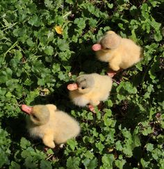 Buy felted ducklings on Livemaster online shop Cute Creatures, Beautiful Creatures, Animals Beautiful, Animals And Pets, Funny Animals, Cute Ducklings, Zack E Cody, Doja Cat, Cats