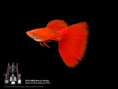 Guppies Auctions - Tue May 19 2020 Guppy, Freshwater Aquarium, Aquarium Fish, Betta Fish Types, Red High, Albino, Fresh Water, Auction, Moscow