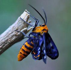 Dysphania numana (Peacock Jewel Moth) by Craig Nieminski
