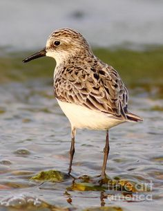 Cute sandpiper, so detailed, love the water, may need to buy this one! (fine art america)