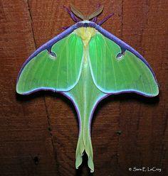 Luna Moth. so gorgeous!
