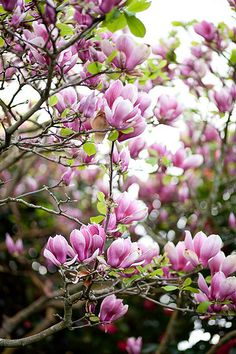 Japanese Magnolias - just like the one in my front yard