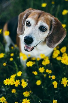 Love your Beagle so much it hurts? Your dog's totally unique, and that's awesome. It's easier than you think to find a pet sitter or dog walker who will go above and beyond for your dog. Sign up now for $20 toward your first booking!