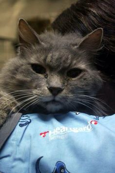 URGENT! SENIOR KITTY Puff is still here! She should not live out her life at the shelter. She's spayed & gorgeous! Total fluff ball! Please consider adopting an older cat today! 304 253-8921   Location: Raleigh County Humane Society in Beckley, WV https://www.facebook.com/RaleighCountyHumaneSociety/photos/a.534448109920439.122080.206931369338783/718028144895767/?type=1